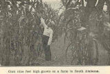 Corn nine feet high grown on a farm in South Alabama