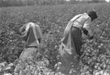 Woman and man picking cotton in the field of Mrs. Minnie B. Guice near Mount Meigs in Montgomery...