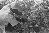 Man picking cotton in the field of Mrs. Minnie B. Guice near Mount Meigs in Montgomery County,...