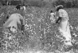 People picking cotton in the field of Mrs. Minnie B. Guice near Mount Meigs in Montgomery County,...