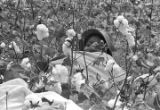 Person sitting in the cotton field of Mrs. Minnie B. Guice near Mount Meigs in Montgomery County,...