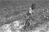 Young boy picking cotton in the field of Mrs. Minnie B. Guice near Mount Meigs in Montgomery...