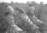 Man and two women picking cotton in the field of Mrs. Minnie B. Guice near Mount Meigs in...