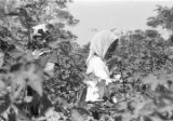 Young boy and girl picking cotton in the field of Mrs. Minnie B. Guice near Mount Meigs in...