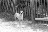 Dog standing in front of the wooden fence around a yard in Newtown, a neighborhood in Montgomery,...