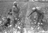 Little girl, woman, and man picking cotton in the field of Mrs. Minnie B. Guice near Mount Meigs...