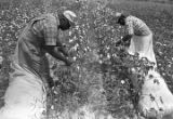 Man and woman picking cotton in the field of Mrs. Minnie B. Guice near Mount Meigs in Montgomery...