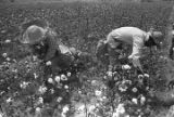 Women picking cotton in the field of Mrs. Minnie B. Guice near Mount Meigs in Montgomery County,...