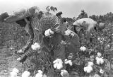 Men and women picking cotton in the field of Mrs. Minnie B. Guice near Mount Meigs in Montgomery...