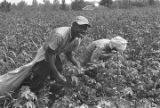 Young man and woman picking cotton in the field of Mrs. Minnie B. Guice near Mount Meigs in...