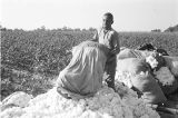 Edwin Bracy emptying a sack of cotton in a field in Elmore County, Alabama.