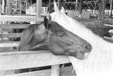 Horses in stalls at Capital Stock Yards in Montgomery, Alabama, during a livestock auction.