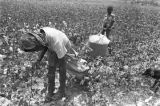 Young woman picking cotton in the field of Mrs. Minnie B. Guice near Mount Meigs in Montgomery...