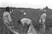 Three women in the cotton field of Mrs. Minnie B. Guice near Mount Meigs in Montgomery County,...