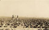 Field, probably a cabbage field, with African American agricultural laborers.