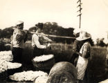 Cotton weighing.