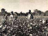African American cotton pickers in a field in northern Alabama.