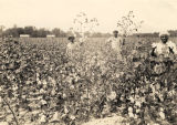 African American field workers in the cotton field of Byron Trammell in Barbour County, Alabama.