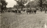 Cattle grazing in a field in Tallapoosa County, Alabama.