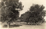 Pecan trees and chickens in Barbour County, Alabama.
