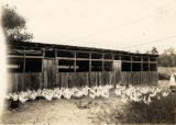 Chickens outside a large chicken coop.