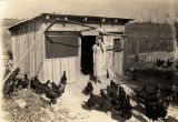Woman surrounded by dark chickens outside a chicken coop.