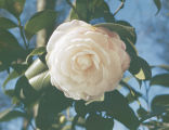 Close-up of a light pink camellia on a bush.