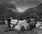 Japanese loggers manually sawing logs.