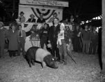 Award-winning hog at the Annual Montgomery Fat Stock Show and Sale in Montgomery, Alabama.