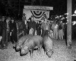 Award-winning hogs at the Annual Montgomery Fat Stock Show and Sale in Montgomery, Alabama.