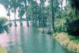 Cypress trees in a lake at Cypress Gardens in Florida.