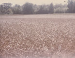 Field of cotton on the Datcher family farm in Harpersville, Alabama.