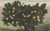 Grape Fruit - On Mobile & Ohio R.R.