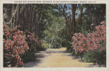 """Azaleas and Spanish Moss, Entrance to Bellingrath Gardens, Mobile, Ala."""