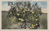 """A Grape Fruit Tree, near Mobile, Ala."""