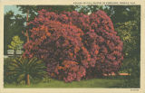 """Azalea in full bloom in February, Mobile, Ala."""