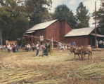 Men operating a cane mill during Sorghum Sopping Days, a festival in Waldo, Alabama.