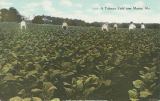 """A Tobacco Field near Marion, Ala."""