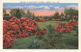 """Azaleas in Blacksher Gardens, Mobile, Ala."""