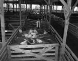 Cattle at Bowman Stock Yards at 1451 Parallel Street in Montgomery, Alabama.