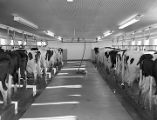 Cows in the dairy barn at Foremost Dairies in Montgomery, Alabama.