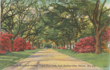 """Lane at Springhill College Lined With Oaks and Azaleas Near Mobile, Ala."""
