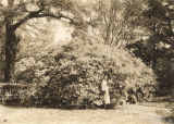 Large azalea bush at the Field home in Spring Hill, Alabama.