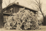 Large azalea in front of the Cleveland home, at the southwest corner of Old Shell Road and Carlin...