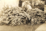 Two small boys in front of large azalea bushes at the Braswell home in Spring Hill, Alabama.