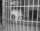 Lioness in a cage at the Oak Park Zoo in Montgomery, Alabama.
