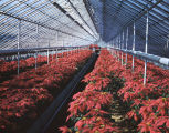 Poinsettias at Rosemont Greenhouses, Inc., at 2430 Carter Hill Road in Montgomery, Alabama.