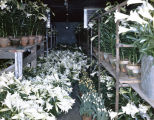 Easter lilies at Rosemont Greenhouses, Inc., at 2430 Carter Hill Road in Montgomery, Alabama.