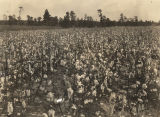 Cotton field in Alabama.
