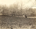 Two men standing in a patch of crimson clover in a pecan grove.